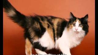 Norwegian forest cat Норвежская лесная кошка