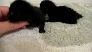 Black Kittens 1 week Old