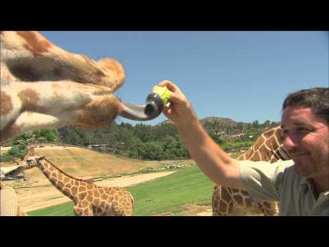 San Diego Zoo Kids - Giraffe thumbnail
