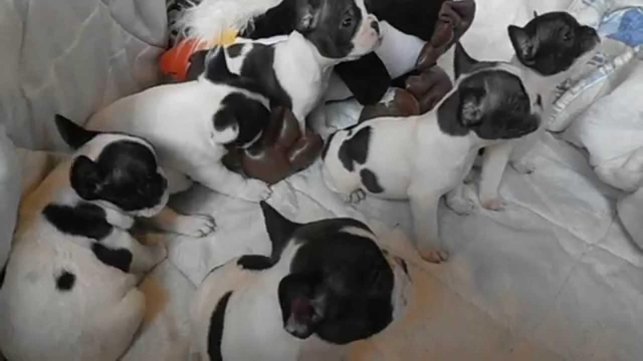 Cachorros de bulldog franc s asirlos salamanca abri mayo - Bulldog frances gratis madrid ...