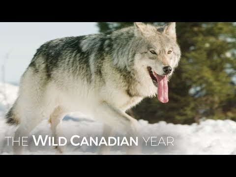 Wolves Hunt Caribou In Quebec's Northern Forest | Wild Canad