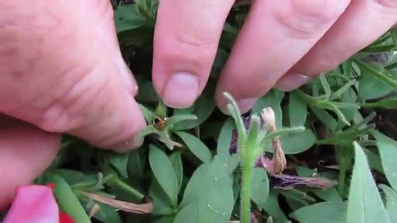 How to grow petunia from seeds - How To Grow Petunia From Seeds 44