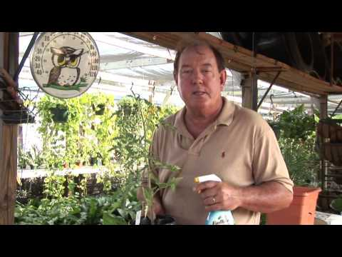 Natural Ways to Keep Bugs Off of Tomato Plants