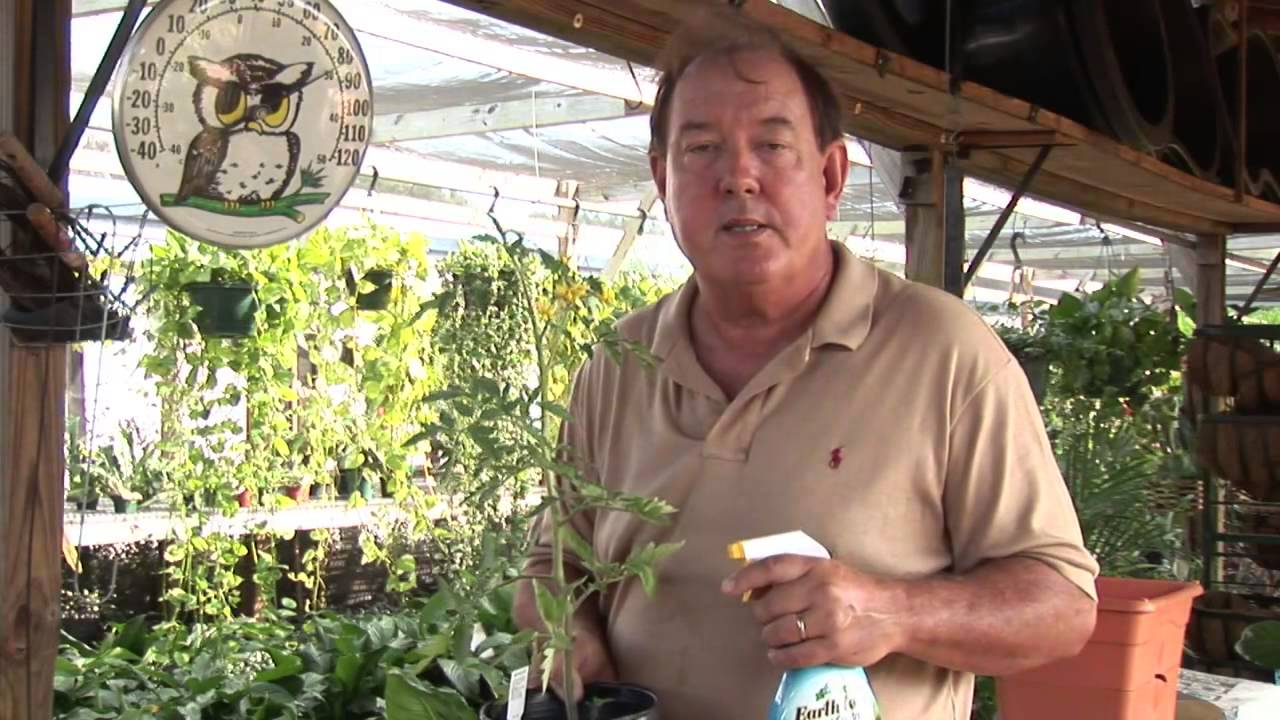 Natural Ways To Keep Bugs Off Of Tomato Plants Youtube