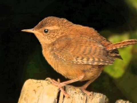 ''Follow the Wren'' Traditional Song, Arranged  By Richie Kavanagh.