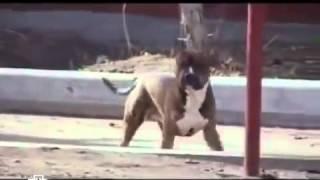 Жесть  Взбесившаяся собака напала на людей, пришлось пристрелить 1