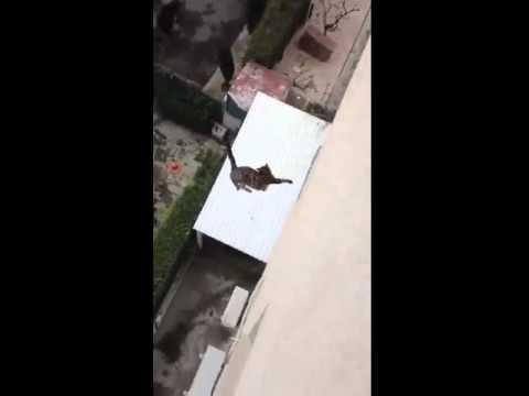 Porque los gatos pueden caer desde grandes alturas