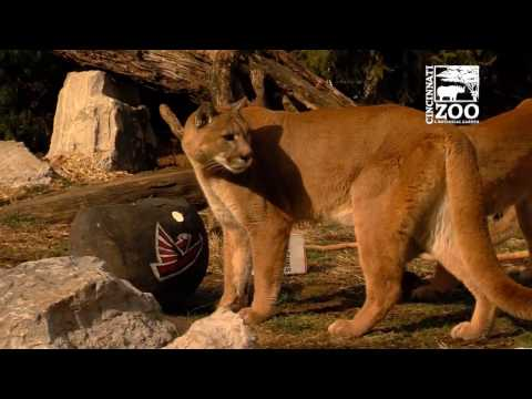 Cincinnati Zoo Animals Pick the Atlanta Falcons over the New England Patriots