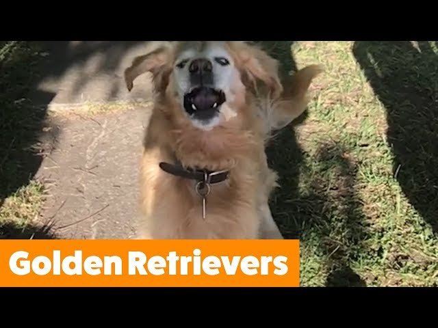 The Funniest and Cutest Golden Retrievers | Funny Pet Videos