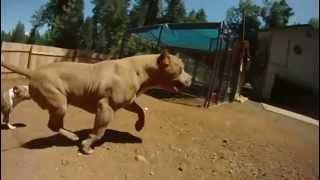 Ето това е питбул ! Extreme pitbulls