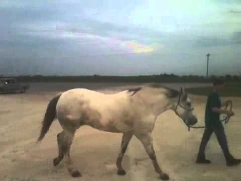 Gray horse six days after treatment with Laminil in May 2013