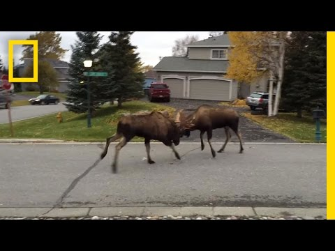Watch Moose Fight in a Quiet Alaska Suburb | National Geographic