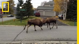 Watch Moose Fight in a Quiet Alaska Suburb