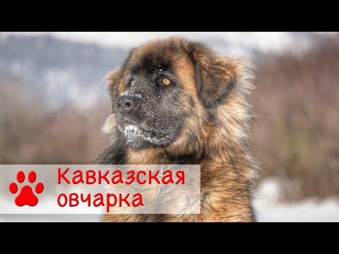 Кавказская овчарка   Все о породе