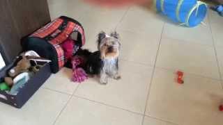 Darya - Yorkshire Terrier - Tricks