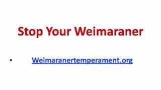 Weimaraner Aggression Problems