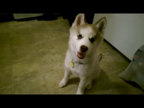 dog-training---how-to-stop-biting---luna-the-13-week-old-red-husky.