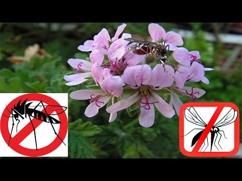 Mosquito repellent repelente natural contra los mosquitos o zancudos evita las picaduras - Plantas contra los mosquitos ...