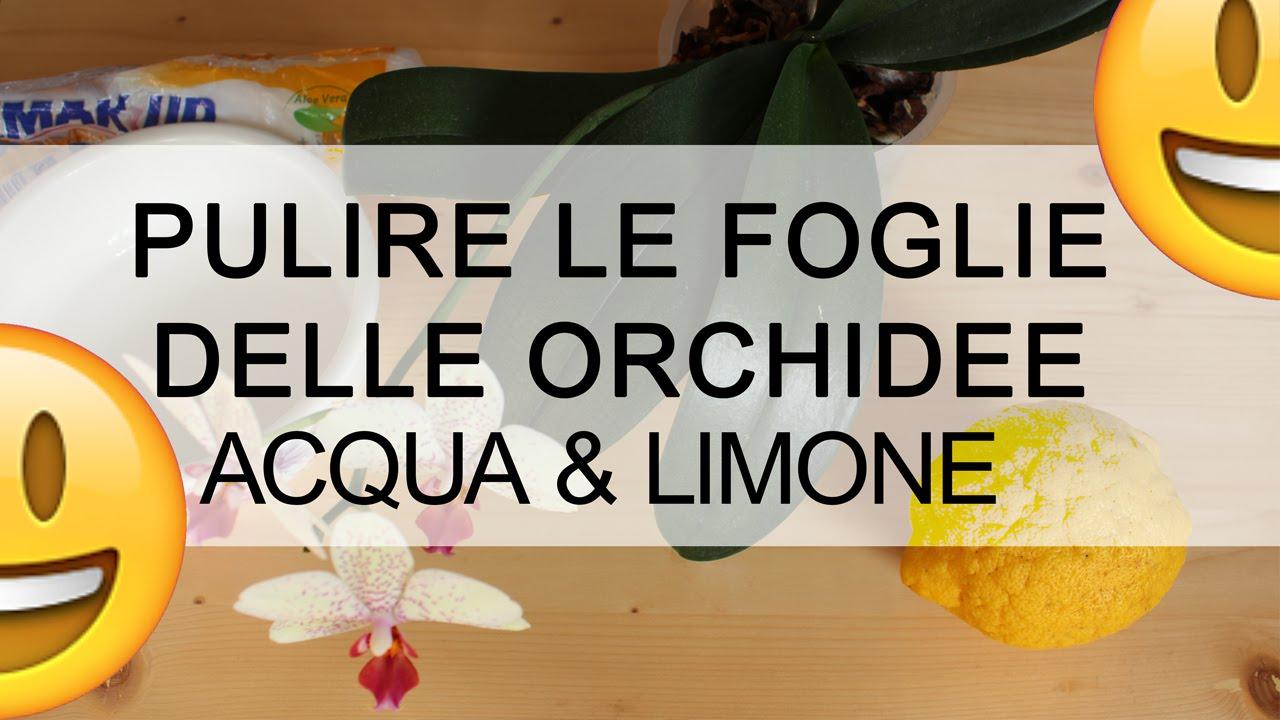 Orchidea come pulire le foglie con acqua e limone youtube - Come curare un orchidea in casa ...