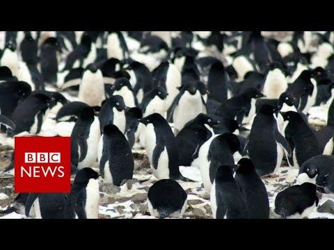 Largest population of penguins found in Antarctic Peninsula - BBC News