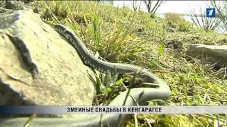 ПБК: Змеиные свадьбы в Кенгарагсе