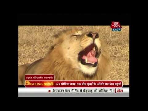 गिर में शेरों