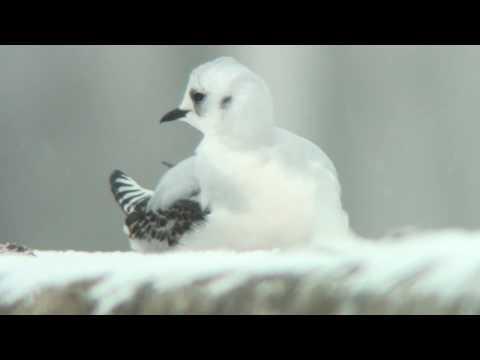 ヒメクビワカモメ(1)数少ない冬鳥(斜里漁港) - Ross's