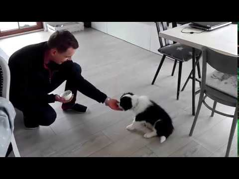 Border Collie training 8 weeks old puppy Bounty