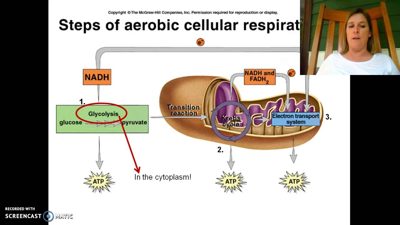 Cellular Respiration In Humans