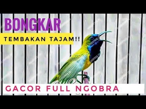 Sogok Ontong Ngobra Gacor tembakan Rapat - Kolibri Sriganti