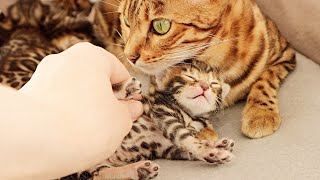 Mother Cat Let Me Pet her Cute Meowing Kittens