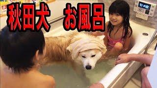 今日は秋田犬 惣右介君暖かいのでお風呂です 子供達と楽しく入りました ...