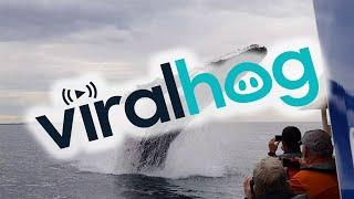 近すぎちゃってどうしよう!ホエールウオッチングでクジラが大ジャンプを見せてくれただとぅ?