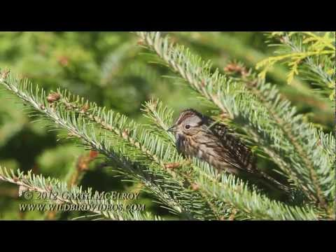 Lincoln's Sparrow in Maine