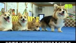 狗狗101---潘布魯克柯基犬