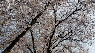 제천 청풍벚꽃축제~~