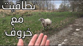 تطاقيت مع خروف هههههههههه