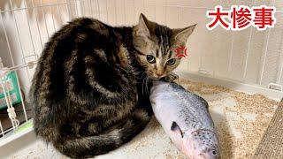 【大惨事】朝起きたら子猫がおもちゃを破壊して大変なことになりましたw
