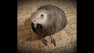Botton the African Grey Unplugged in the dark 😂