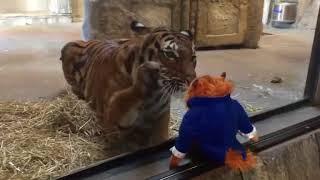 Тигр хочет стащить мягкую игрушку