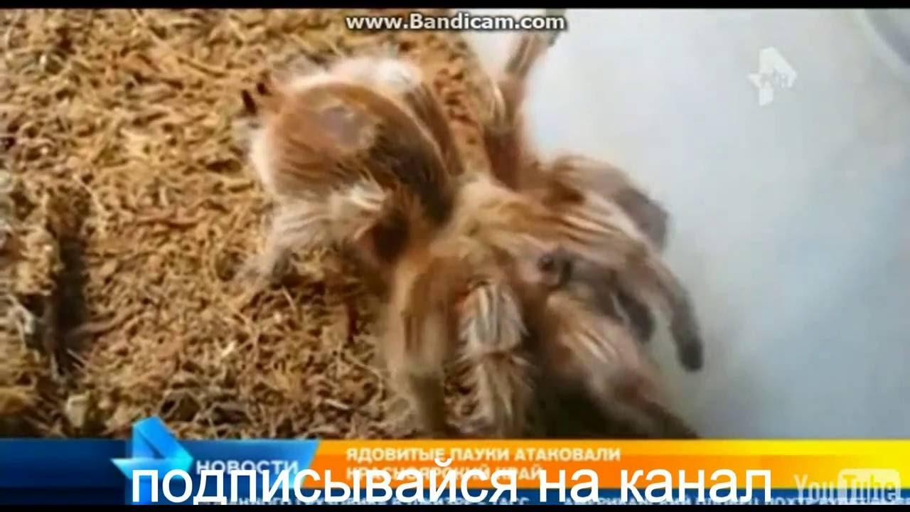 нашествие пауков в Красноярске