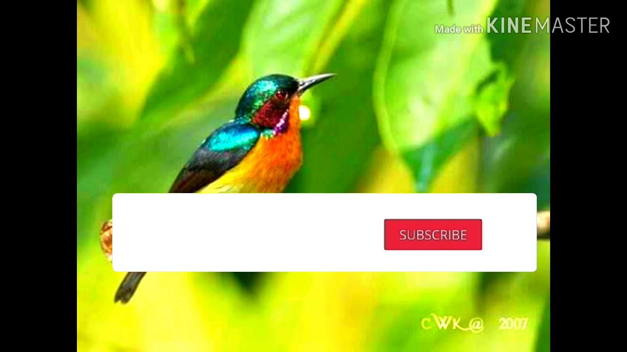 Kolibri wulung petarung sejati
