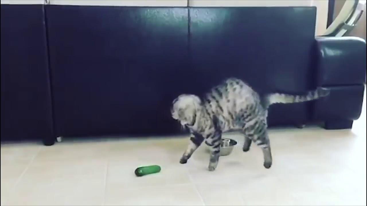 Video Katze Gurke