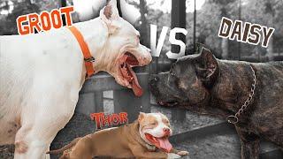 გრუტის შეხვედრა თორისთან – Doggo Argentino vs Cane corso