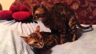 mating thoroughbred Bengal cats / вязка чистокровных бенгальских котов