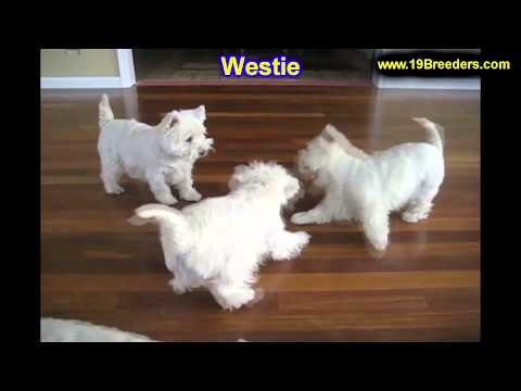 west-highland-terrier,-puppies,-for,-sale,-in,-cincinnati,-ohio,-oh,-westerville,-huber-heights,-lim