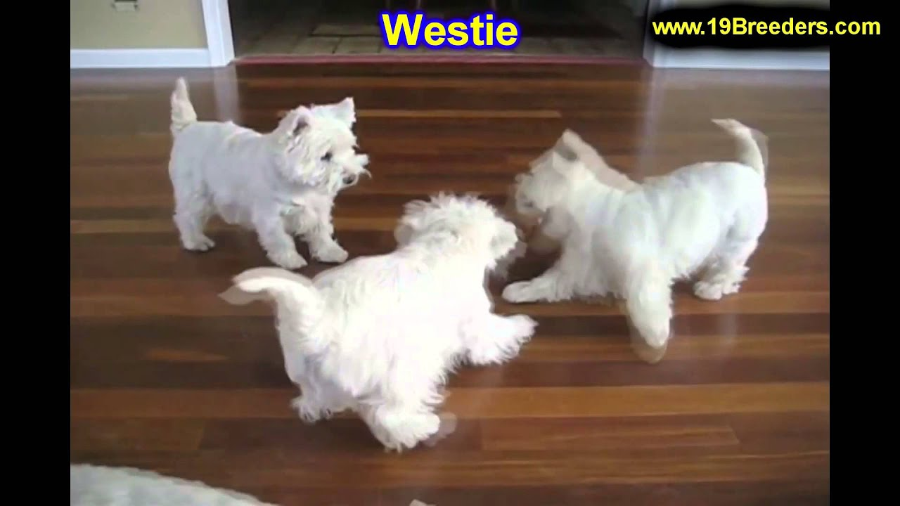 West Highland Terrier, Puppies, For, Sale, In, Cincinnati, Ohio, OH,  Westerville, Huber Heights, Lim