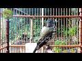 Siri Siri Gacor Bikin Burung Anda Langsung Nyaut Kicau Makin Tajam  Mp3 - Mp4 Download