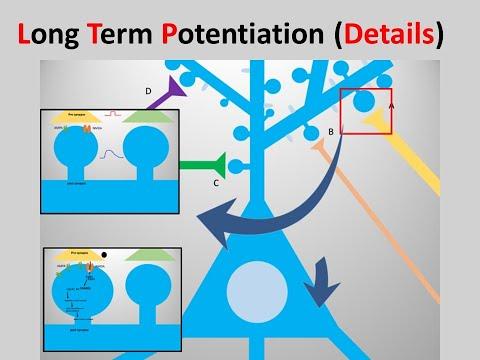 long-term potentiation(LTP) details
