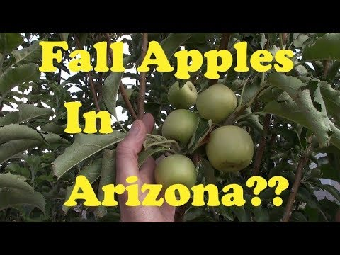 Honeycrisp, Pink Lady & Fuji Apples In AZ